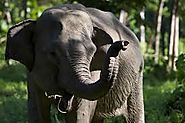 The Sumatran Elephant