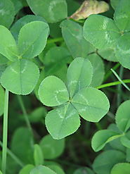 Find a four leaved clover