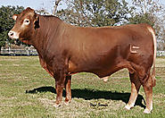 Buy Bull Of Best Breed In Texas