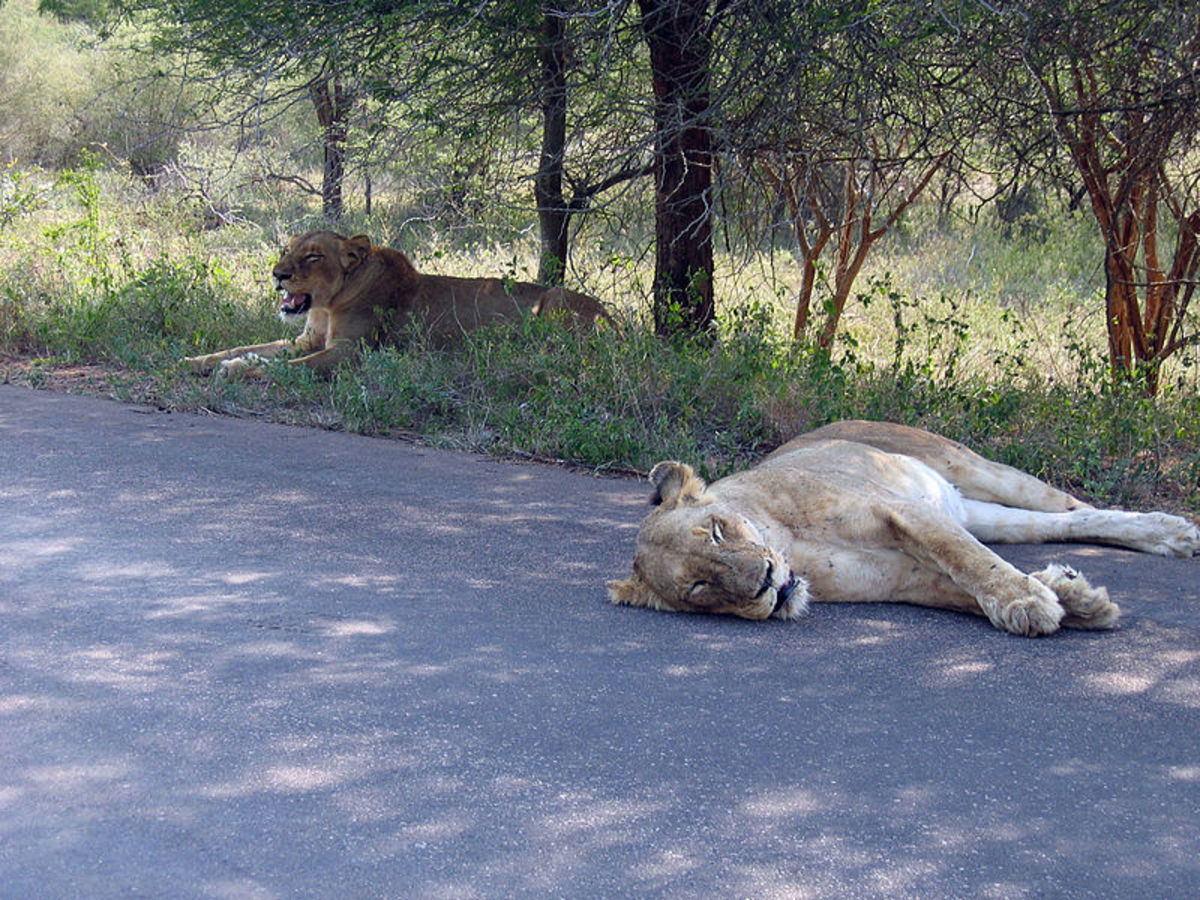 Headline for Best Roads in Kruger to See Predators
