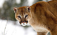Mountain Lions, Torres Del Paine National Park, Chile