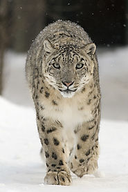Snow leopards, Hemis National Park, India