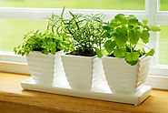 How to Grow Herbs Indoors - Bonnie Plants