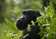 Mountain Gorillas, Mountain Gorilla Pictures, Mountain Gorilla Facts - National Geographic