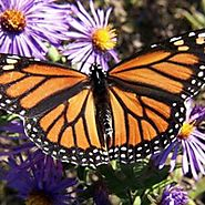 The Incredible Life of a Monarch Butterfly