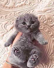 Grey Kitten with pink paws