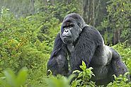 Rwanda Gorilla Trekking Safaris – Grab The Opportunity to Meet Mighty Apes