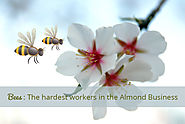 Bees: The hardest workers in the Almond Business