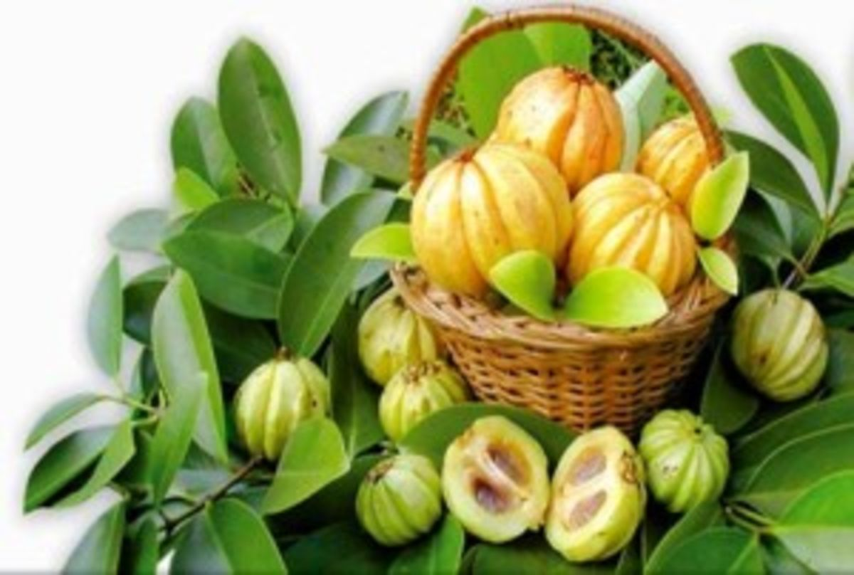 Headline for Garcinia Cambogia is a Tropical Fruit Which has its Medicinal Effects on Reducing Weight