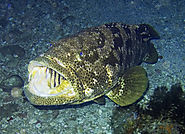 The Persian Gulf Grouper