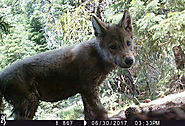 New wolf pups in California: Endangered species here to stay?