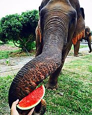 Food of an Asian Elephant