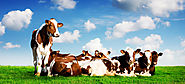 Buy Holstein Indian Cow Breeds Haryana - HF Cows