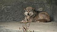 3 Mexican gray wolves move to San Francisco Zoo