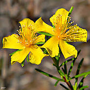 St. John's Wort for Treating Depression