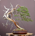 The Ancient Art of Bonsai