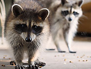 Common Diseases From Raccoons Feces & Urine
