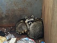 Ways to Keep Raccoon Out of Your Garbage Bin