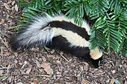 Tips on How to Keep Skunks Away from Your Home This Summer