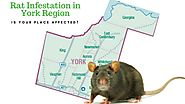 Rat Infestation in York Region: Is Your Place Affected?