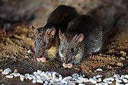 The Secret Lives of New York City Rats