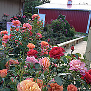Inventory your garden rate your rose bushes: keepers, maybe, replace.