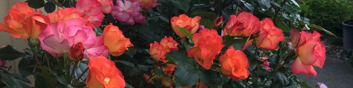 Headline for Roses Fall Into Winter