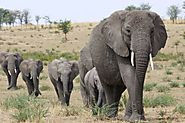 Africa's elephants face worst drop in 25 yrs; Report
