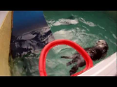Sea Otter Slam Dunks His Way To Fame