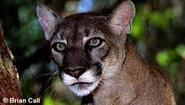 Florida Panthers and Other Wildlife Threatened by Big Oil