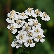 Yarrow - Plants and Herbs - Tea For Beauty