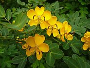 Senna - Plants and Herbs - Tea For Beauty