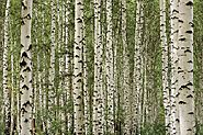 Birch - Plants and Herbs - Tea for Beauty
