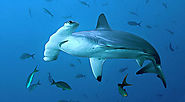 Hammerheads and Others