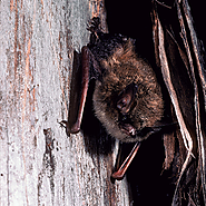 Article on Northern Long-Eared Bats
