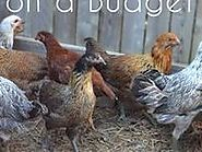 Keeping Chickens Beginners