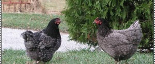 Headline for Black Jersey Giant Chickens