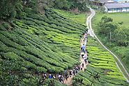 Walk through the Tea Plantations
