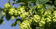 Biggest Hop Farms In Virginia