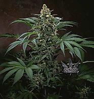 Buy Cannabis Seeds On-line - Canada - My Weed Seeds