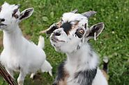 Pygmy goats are popular because of their miniature size and fun temperament. Here's how to care for them.