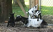 Nigerian goats are a special breed that you may want to consider raising after reading this article