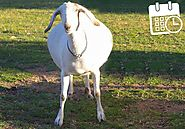 Have a pregnant goats? Use this goat pregnancy calendar