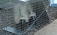 3 Effective Tips to Get Rid of Skunks Humanely