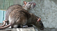 Sure Signs of a Mouse/Rat residing at your place by Experts