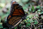 Weather, deforestation curb monarch migration to Mexico in 2016/17