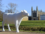 Cows about Cambridge 2020