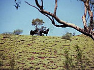 Wild brumbies at Brumby Springs - The Flying Bushman
