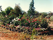 The lovely rose garden - The Flying Bushman