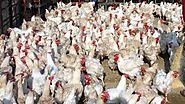 Antibiotics use by India's poultry farms endangering human lives, says expert